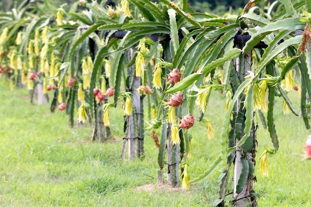Dragon fruit veld of landschap van pitahaya veld.