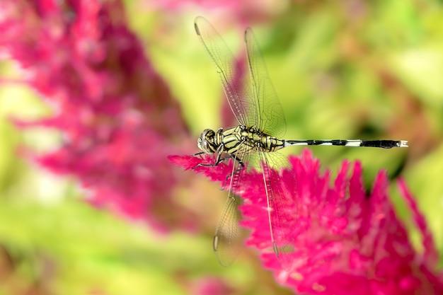 Dragonfly-baars op plumed celosia.