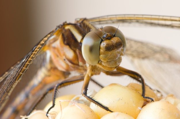 Dragonfly close-up macro