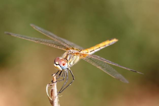 Dragonfly dier