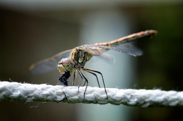 Dragonfly eet een vlieg