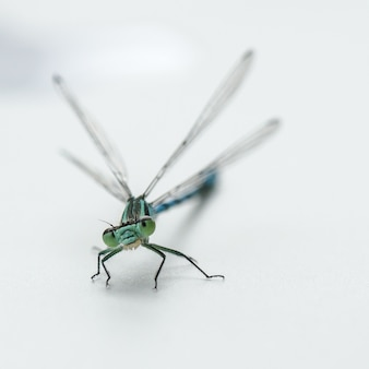 Dragonfly geïsoleerd op een witte achtergrond