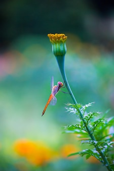 Dragonfly op de marigold flower