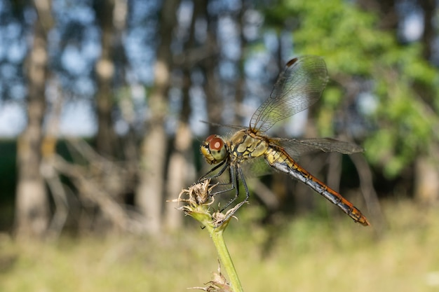 Dragonfly op het gras