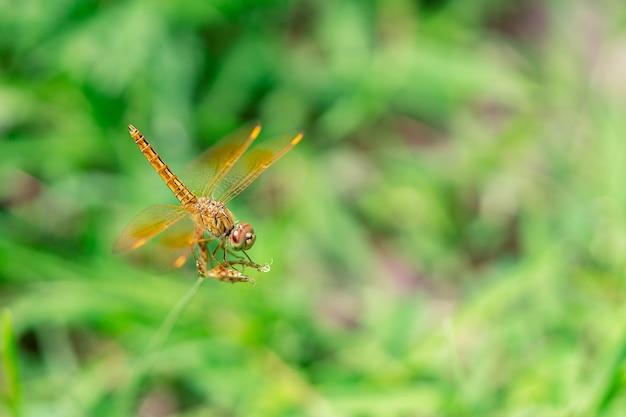 Dragonfly opknoping op gras en wazige achtergrond close-up fotografie