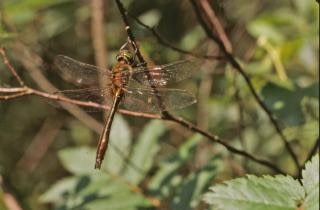 Dragonfly, vliegen, bug