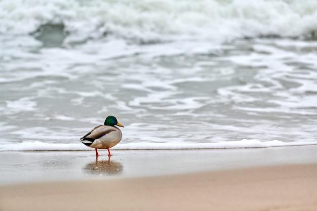 Drake wilde eend staande aan de kust in de buurt van de oostzee