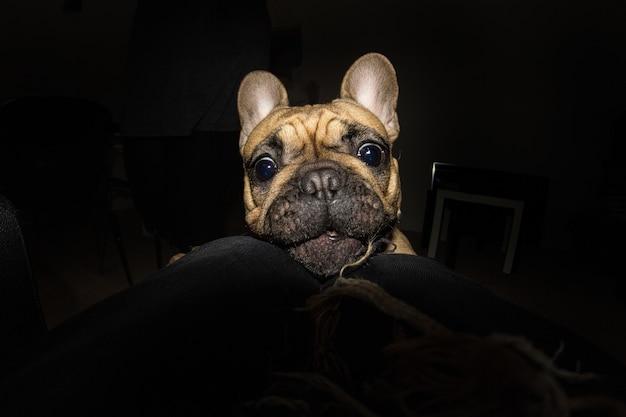 Dramatisch beeld van kleine pug dog 's nachts binnenkant van een appartement spelen op de vloer