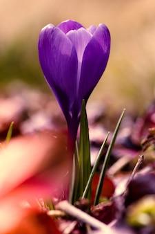 Dramatische en humeurige verticaal van een jonge paarse krokusbloemcus
