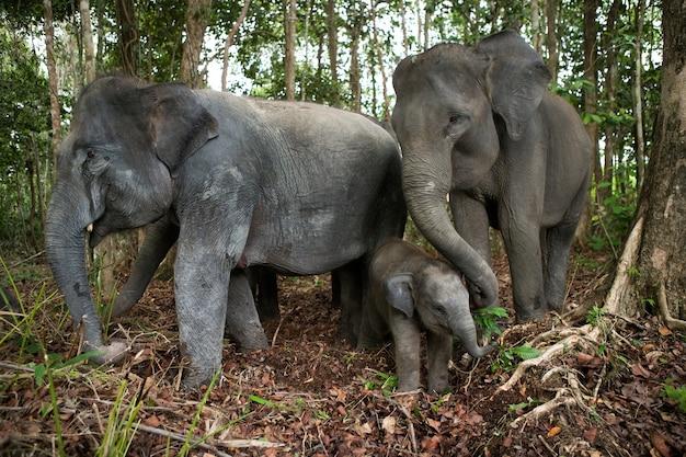 Drie aziatische olifanten in de jungle. indonesië. sumatra. way kambas national park.