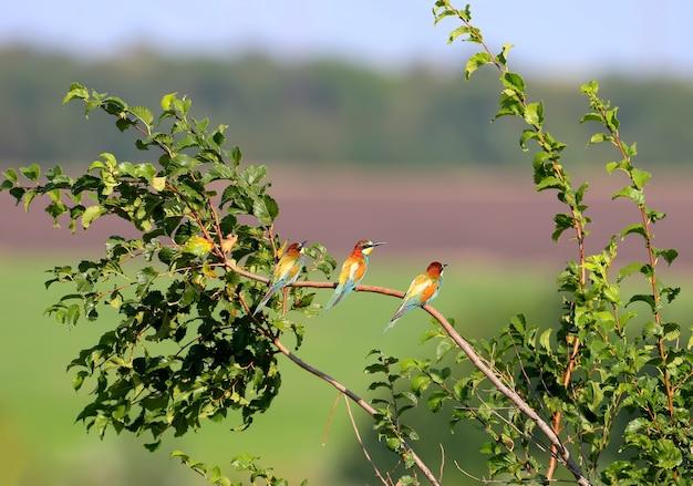 Drie bijeneters zitten op een boomtak tegen een achtergrond van een ver bos