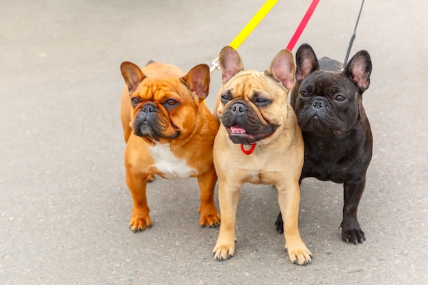 Drie binnenlandse honden franse bulldog-ras