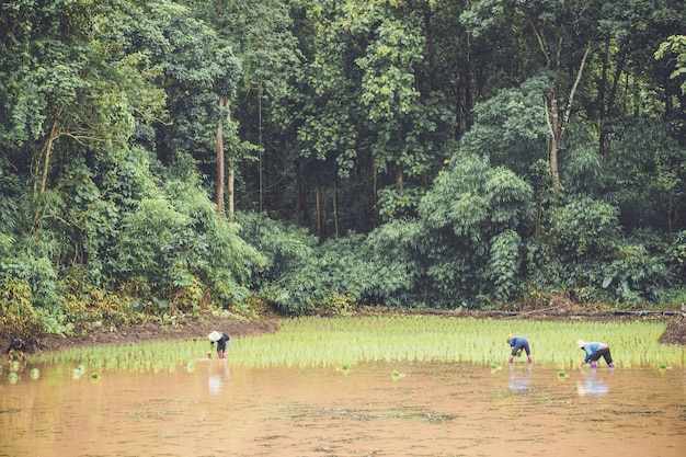 Drie boeren planten jonge rijst in plantage met vulwater en bos