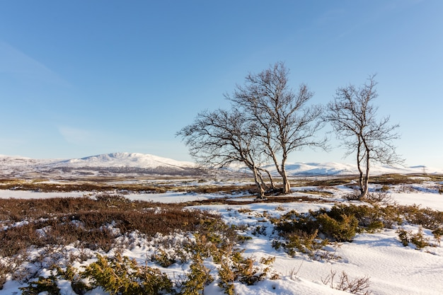 Drie bomen van de bergberk met de winterbergen in dovre, noorwegen.