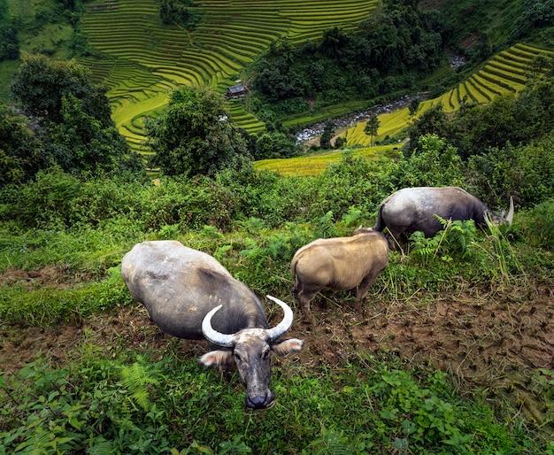 Drie buffels bij de rijstvelden op terrassen van mu cang chai district