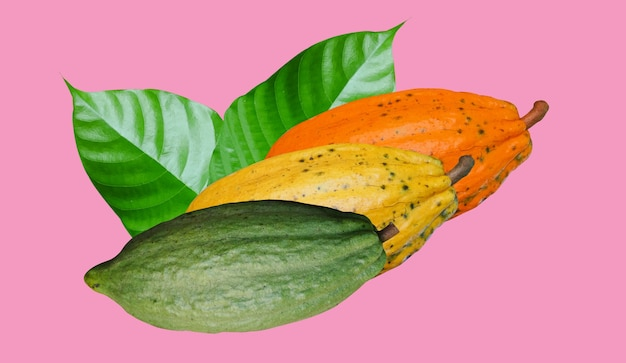 Drie cacaovruchten isoleren op roze achtergrond