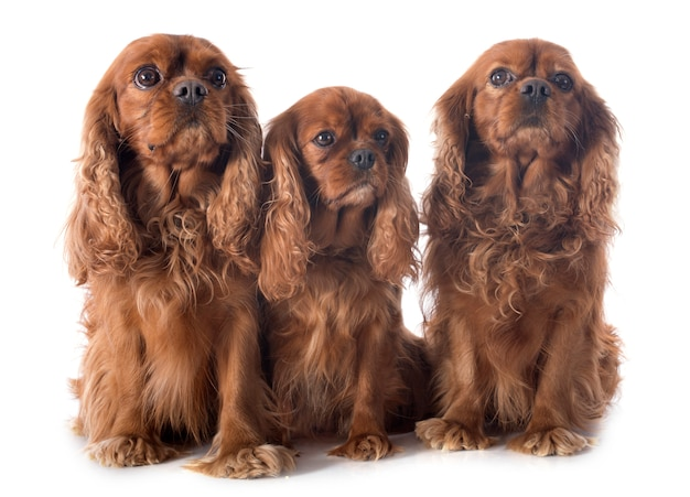 Drie cavalier king charles