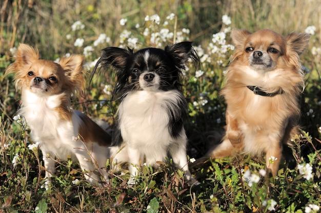 Drie chihuahua