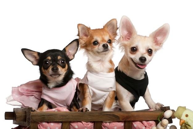 Drie chihuahuas, 1 jaar oud, 8 maanden oud en 5 maanden oud, zittend in hondenmand wagen