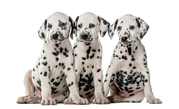 Drie dalmatische puppy's die voor een witte muur zitten