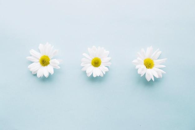 Drie delicate daises op een rij over een lichtblauwe achtergrond