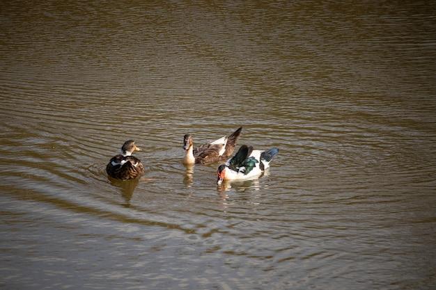 Drie eenden die in een meer met bruin water zwemmen