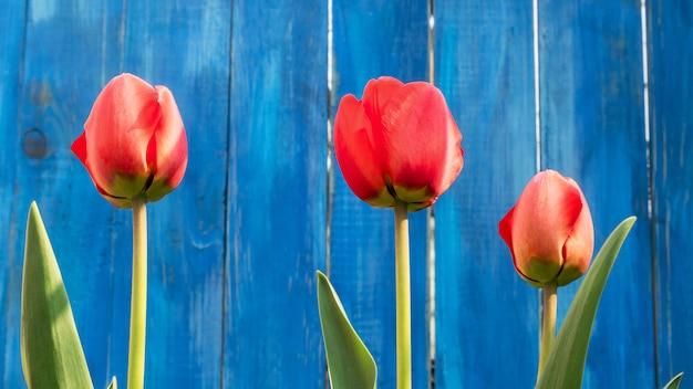Drie felrode bloeiende tulpen groeien in de buurt van blauwe houten hek.