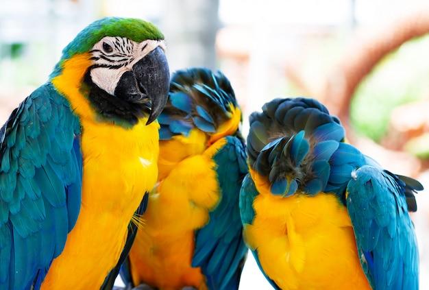 Drie geel blauwe papegaaien