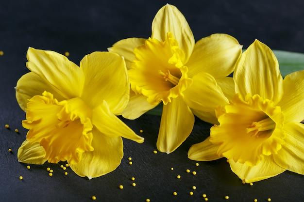 Drie gele narcissen op donkere achtergrond. lente achtergrond met bloemen en gele stippen.