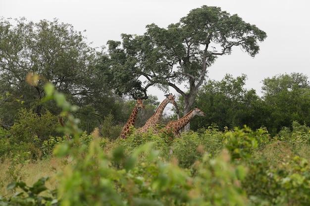 Drie giraffen kijken naar de camera