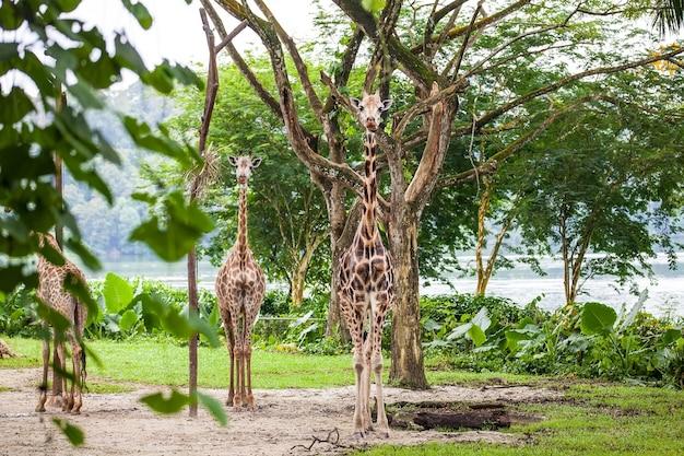 Drie giraffen staan
