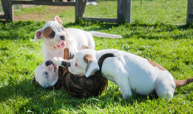 Drie grappige amerikaanse bulldog-puppy's spelen