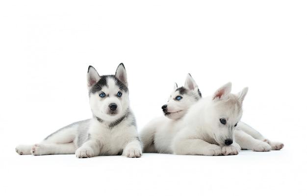 Drie grappige siberische husky puppy's, zittend op de vloer, interessant spelen, wegkijken, wachten op eten. gedragen honden als wolven met grijze en witte vachtkleur en blauwe ogen.