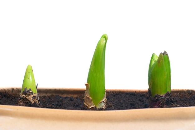 Drie groeiende installaties in de geïsoleerde pot
