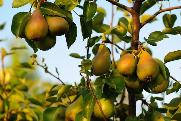 Drie groene peren met bladeren op de tak