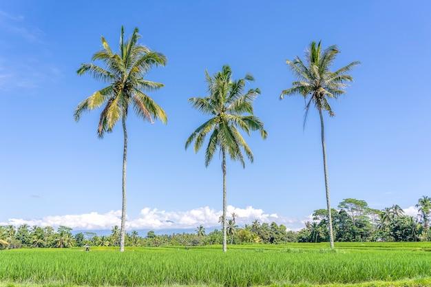Drie grote kokospalmen op groene rijstterrassen tegen een blauwe hemel
