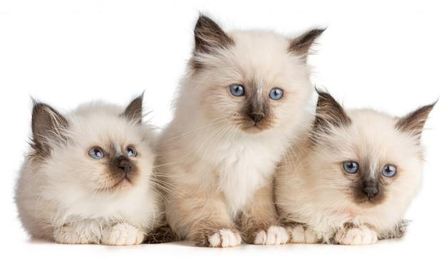 Drie heilige kittens van birman op witte achtergrond