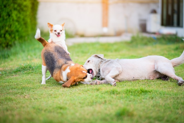 Drie honden die op een groene grasrijke tuin van het landhuis spelen.