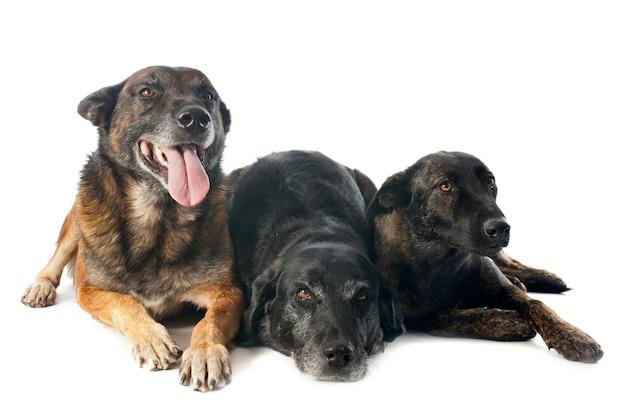 Drie honden op wit