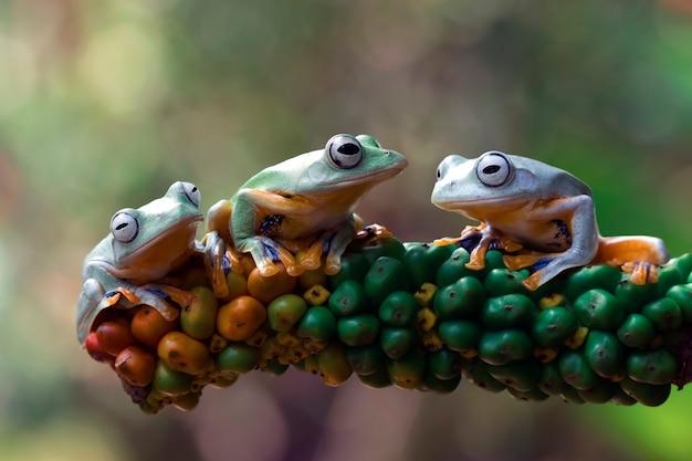 Drie javaanse boomkikker op fruit