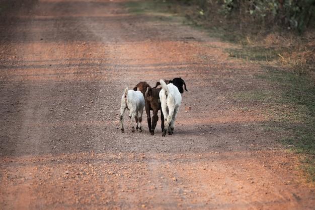 Drie jonge geiten lopen op grindweg in platteland