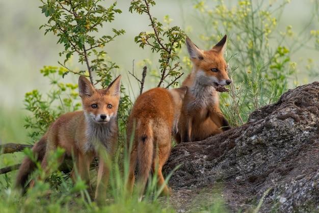 Drie jonge rode vossen staat op een rots in het gras