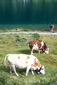 Drie kalme koeien op weiland