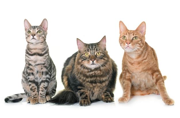 Drie katten geïsoleerd