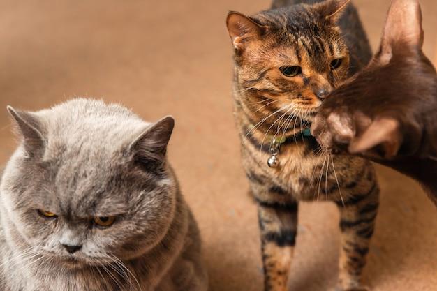 Drie katten van verschillende rassen. het concept van relaties bij huisdieren.