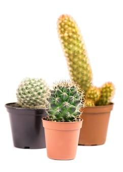 Drie kleine cactussen geïsoleerd op een witte achtergrond