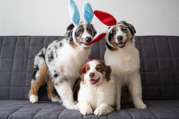Drie kleine gekke leuke australische het puppyhond die van herder rode merle konijntjesoren draagt. rode strik. pasen. drie kleuren. knagende oren.