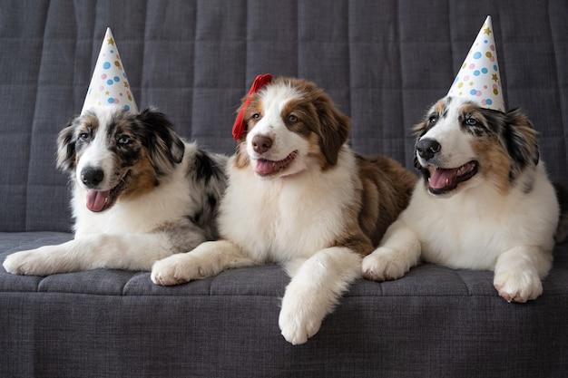 Drie kleine grappige schattige australische herder rode merle puppy hondje feestmuts dragen.