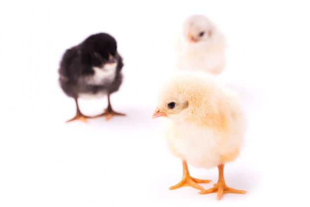 Drie kleine kippen geïsoleerd. zwarte, witte en gele kippen. gele kip staat ver van anderen en kijkt naar links.