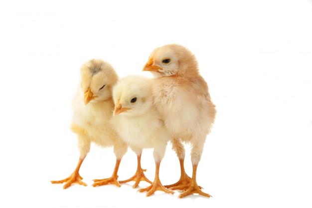 Drie kleine kuikens voor witte achtergrond.